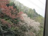 咲き誇る桜と散り去った桜