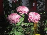 町長賞の菊