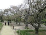 桜林の中を行く