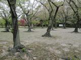 散りゆく桜の絨毯