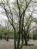ほとんど葉桜になってるけど…