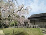 栄唱の間と枝垂れ桜