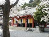 桜と鞍馬寺本殿金堂