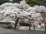 満開の桜@鞍馬寺